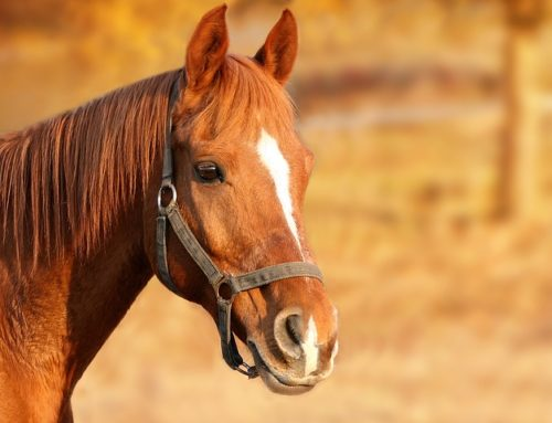 La mise à la retraite du cheval – les bonnes pratiques