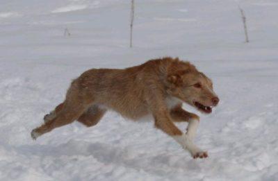 Activités canines - poursuite à vue sur leurre