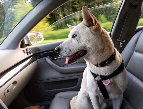Les chiens et la sécurité en voiture