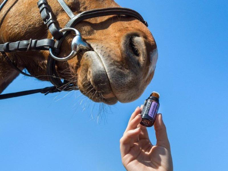 Huile essentielle et chevaux